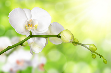 carpel: White orchid on green natural background