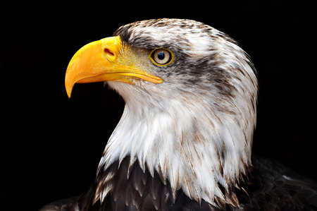 haliaeetus: Bald Eagle - Haliaeetus leucocephalus