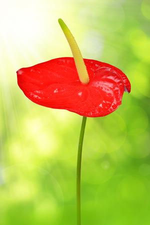 anthurium: Red anthurium on green natural background