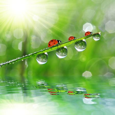 Fresh morning dew and ladybirds. Nature background photo