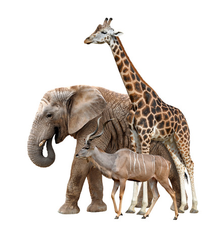 Giraffe, Elephant and Kudu isolated on white