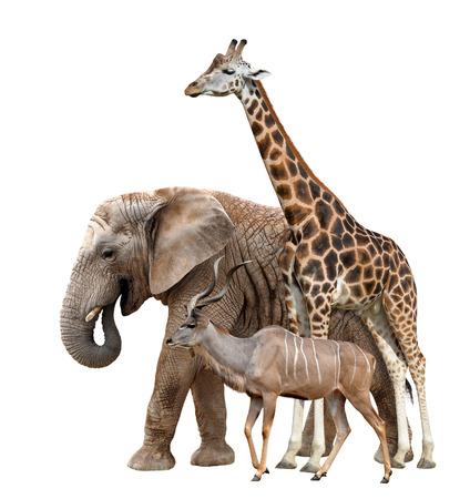jirafa: Jirafa, Elefante y Kudu aislados en blanco