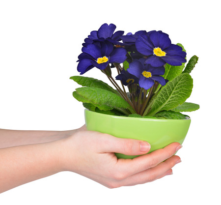 primrose: Hand holding Primrose in pot isolated on white