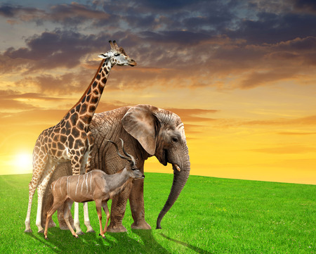 Giraffe, elephant and kudu in the sunset photo