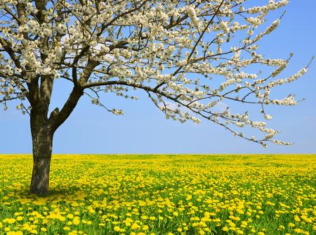 dandelion field: Flowering tree on dandelion field. Spring season.