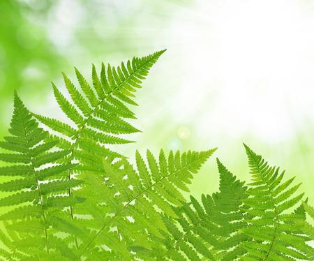 helechos: hoja de helecho en verde natural