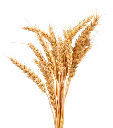 planta de maiz: Trigo aislado sobre fondo blanco Foto de archivo