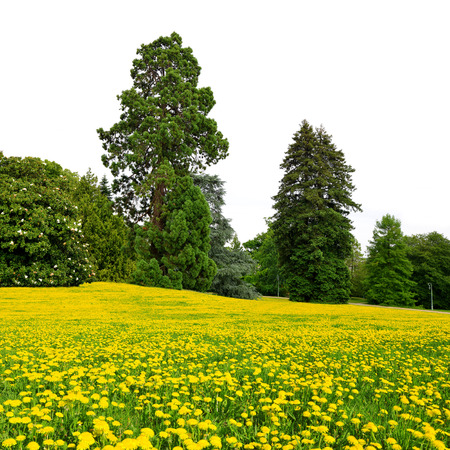 large trees: Summer park with large trees on white background