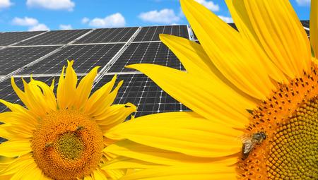 girasol: Girasoles con abeja de la miel en los paneles de energía solar de fondo.