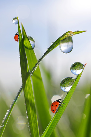 Fresh morning dew on green grass and ladybirds photo