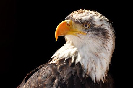 leucocephalus: Bald Eagle  Haliaeetus leucocephalus on black background