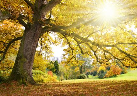 Boom met gouden bladeren in de herfst Stockfoto