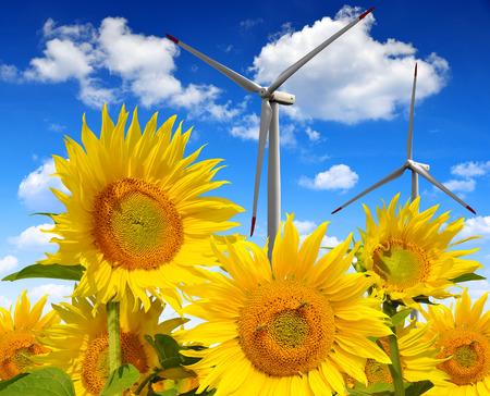 viento: Campo del girasol con las turbinas de viento.