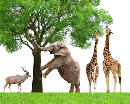 Giraffes Elephant and Kudu photo