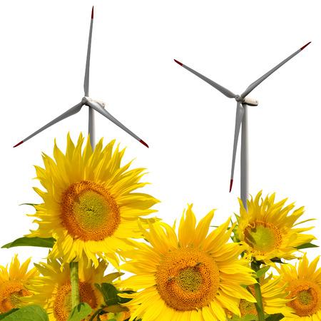 viento: campo de girasol con turbinas de viento en el fondo blanco
