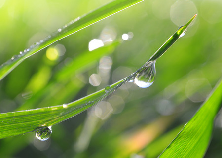 Fresh green grass with dew drops closeup. Nature Background photo