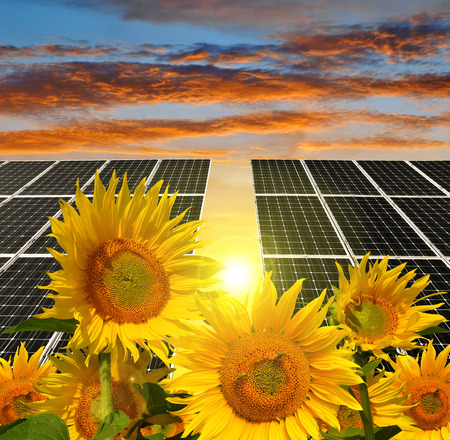 alternativ: Blooming sunflowers in the background solar panels at sunset. Green energy.