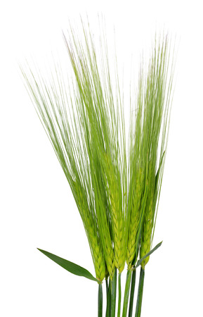 Green Wheat isolated on white background photo