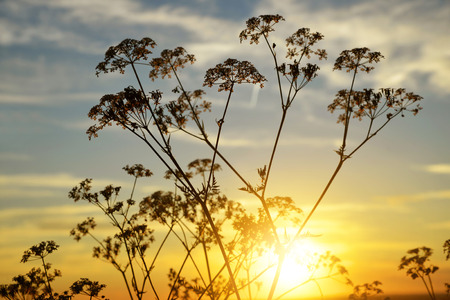 nature silhouette: Flowers silhouette in the sunset. Nature background. Stock Photo