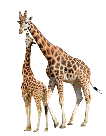 cute giraffe: Giraffes isolated on white background