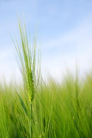cebada: Green barley field in sunny day
