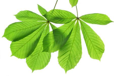 aesculus hippocastanum: leaves of chestnut tree Aesculus hippocastanum isolated on white background