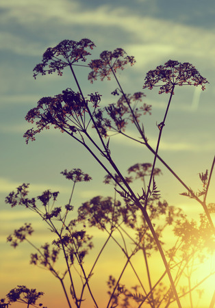 nature photography: Flowers silhouette in the sunset. Nature background. Stock Photo