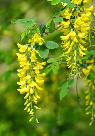 langosta: Locust árbol de flor de Robinia pseudoacacia