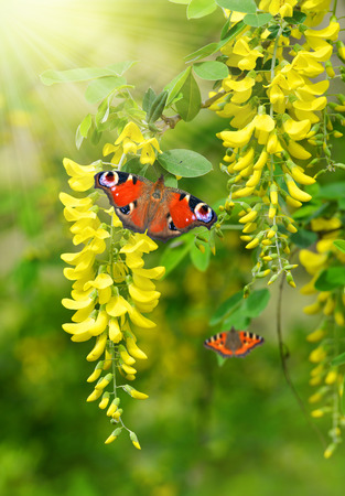langosta: �rbol Locust Robinia pseudoacacia con mariposas Foto de archivo