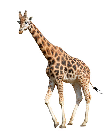 giraffe isolated on white background Banco de Imagens