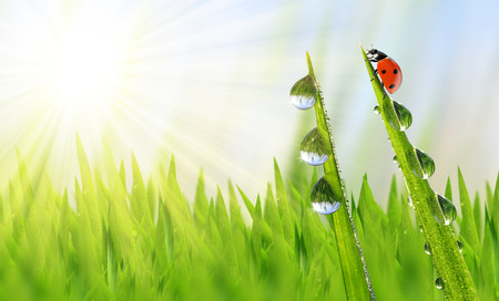 Fresh green grass with dew drops and ladybird closeup photo