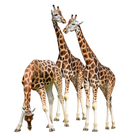 giraffe white background: jirafas aislados en fondo blanco