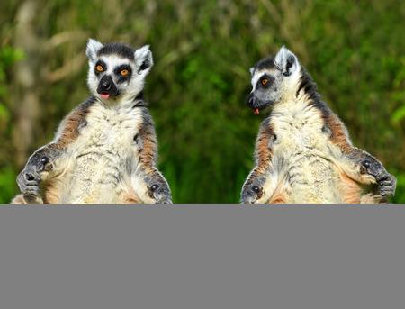 monkies: Portrait of a ringtailed lemur Lemur catta