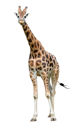 cute giraffe: giraffe isolated on white background Stock Photo