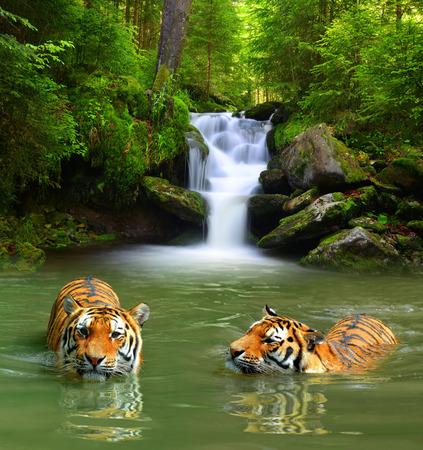 animales de la selva: Tigres siberianos en el agua Foto de archivo