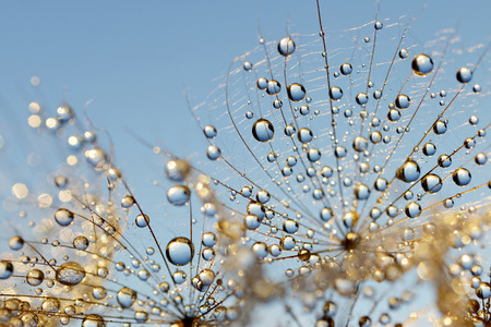 a close up: Dewy dandelion flower close up Stock Photo