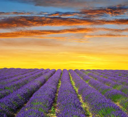 campo de flores: flor de lavanda en flor campos perfumados en Provenza, al anochecer - Francia, Europa. Foto de archivo