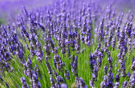 lavender bushes: Lavender flowers close up