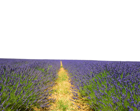 scented: Lavender flower blooming scented fields on white background