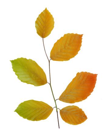 hojas de colores: Rama de haya del oto�o con las hojas de colores aislados sobre fondo blanco Foto de archivo