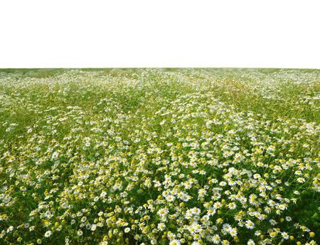 marguerites: field of marguerites on white background