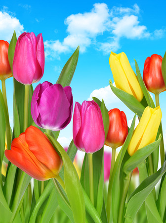 blue tulip: Purple, yellow and red tulip on blue sky