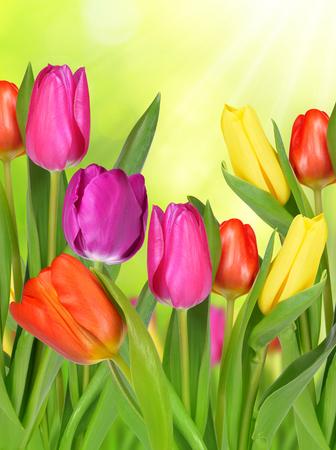 tulip: Purpurowy, żółty i czerwony tulipan na zielonym tle naturalnych