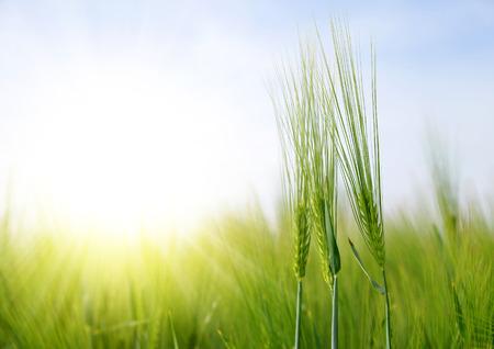 cebada: Campo de la cebada en un día soleado