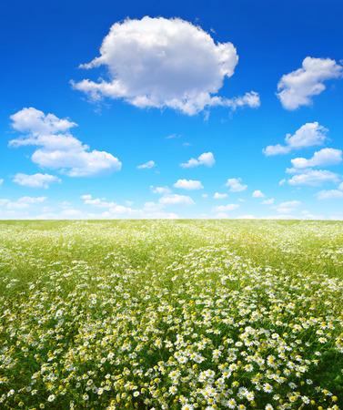 marguerites: Summer landscape with field of marguerites