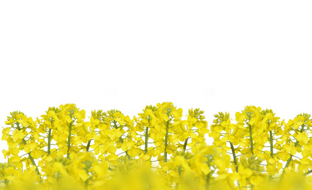 brassica: Flower of a rapeseed, Brassica napus, isolated on white background