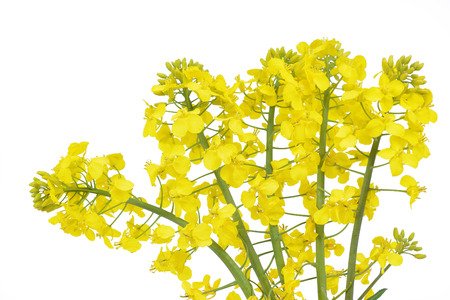 oilseed rape: Flower of a rapeseed, Brassica napus, isolated on white background