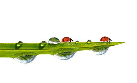 ladybug on leaf: Ladybirds on green grass with dew drops isolated on white background.