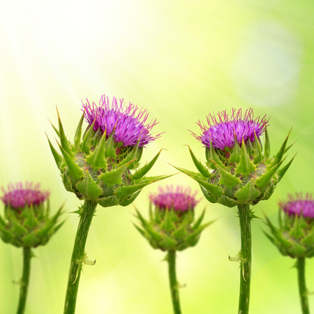 thistle plant: Silybum marianum Milk Thistle on green natural background, Medical plants. Stock Photo