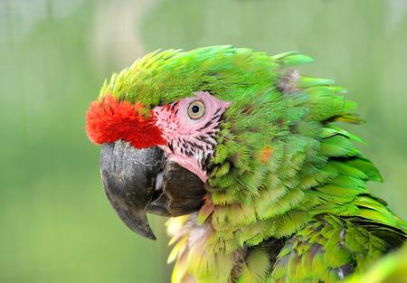 psittacidae: Military macaw Ara militaris mexicana portrait Stock Photo